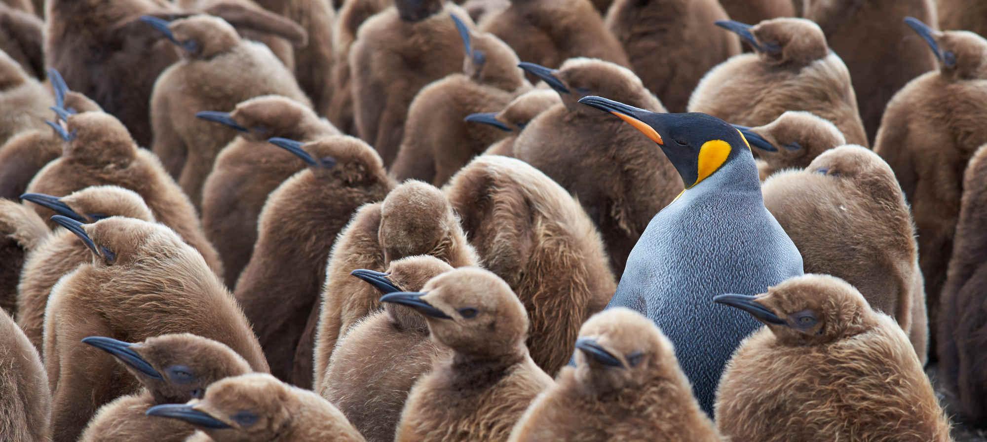 Färbiger Pinguin unter grauen Pinguinen - stet für Einzigartigkeit und Individualität
