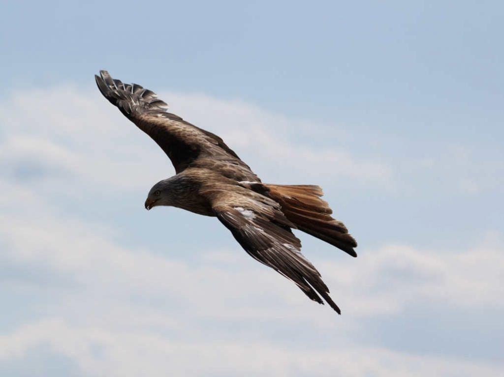 fliegender Adler - es ist seine Bestimmung zu Fliegen